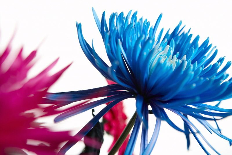 anthophobia fear of flowers - red and blue blooms