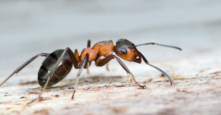 fear of ants - close up of an ant