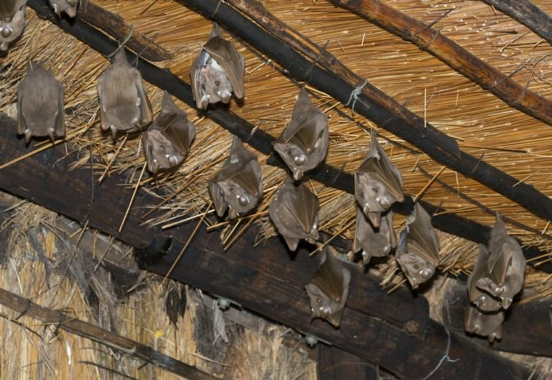 chiroptophobia counselling - bats hanging from a barn roof